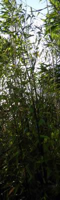 Bamboo Plants Choosing Planting And Growing Bamboo