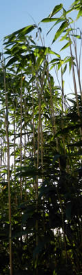 Bamboo Screen for Landscaping - Arrow Bamboo