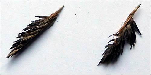 Bamboo Seed Heads (Raceme)