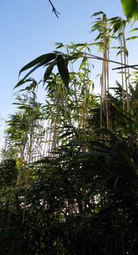 Bamboo Trimming, Pruning, and Hedging for Garden Privacy Screening Plants