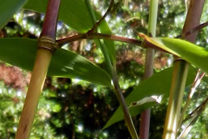 Bamboo branch cutting and trimming - Phyllostachys Aureosulcata Spectabilis Bamboo