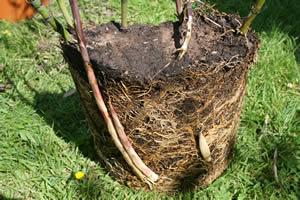 Bamboo rhizomes new shoots