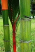 Ornamental Bamboo Canes