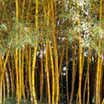 Yellow Bamboo Plant Garden Design Idea
