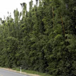 Hardy Bamboo Hedging Hides Traffic