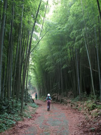 Bamboo road through a forest