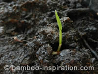 Bamboo Seedling ready for Potting