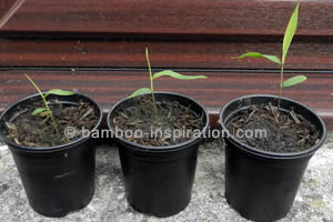 Row of Three Bamboo Seedlings in Pots