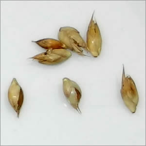 Bamboo seeds ready to germinate