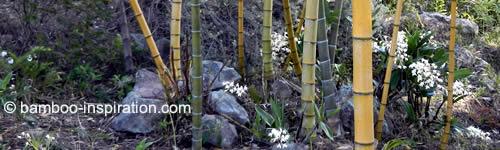 Bamboo plants in a rock garden