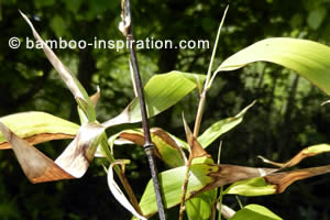 Black Bamboo Leaves Turning Brown