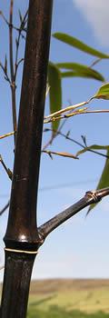 Black Bamboo Culm - Phyllostachys nigra