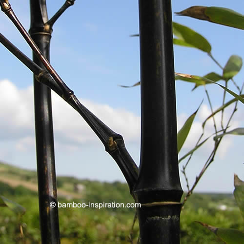 Black Bamboo Plants in the Landscape