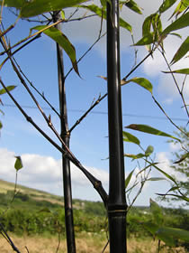 Black bamboo branches and culm color