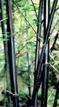 Bamboo Plants - Black Culms in Containers