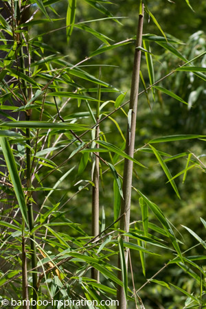 Borinda KR 5600 New Upright Blue Bamboo Canes and Leaves Growing