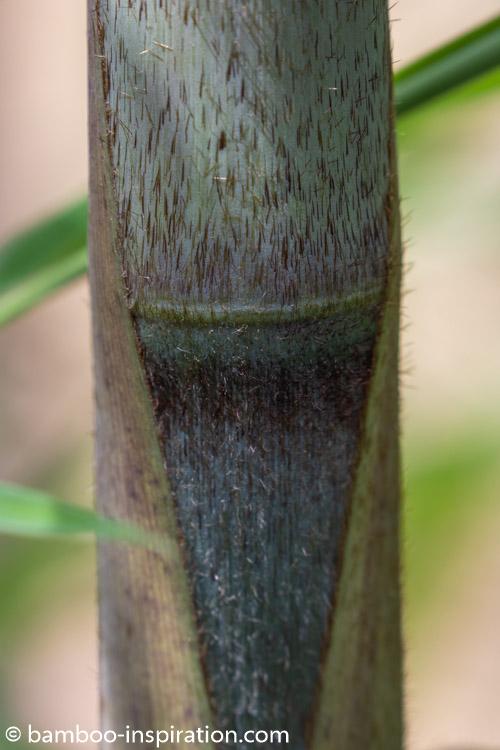 Borinda KR 5600 Giant Bamboo culms - Blue bamboo canes and sheath