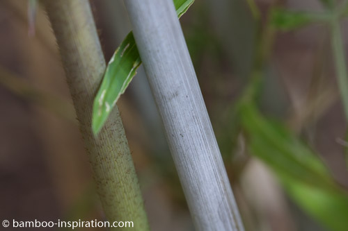 Borinda Lushuiensis No 4 Yunnan Culms - Blue Bamboo Cane
