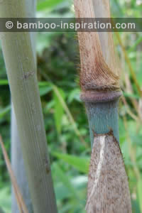 Borinda papyrifera bamboo - Blue culms, node, and sheath