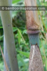 Borinda papyrifera bamboo - Blue culms, node, and sheath