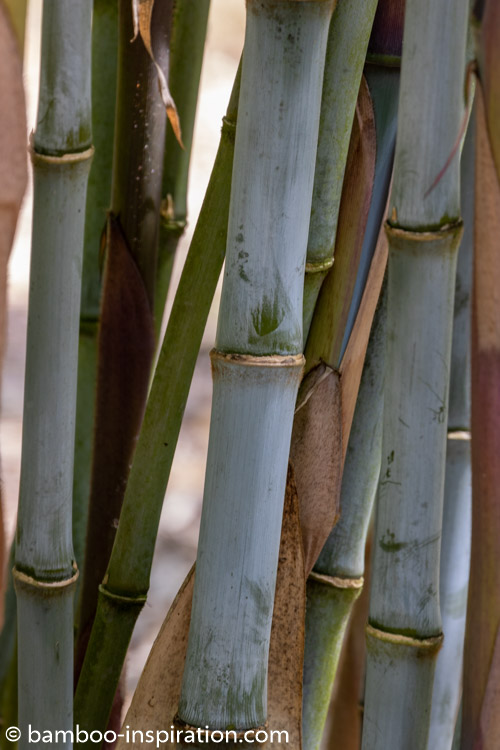 Bamboo Plants Choosing Planting And Growing Bamboo