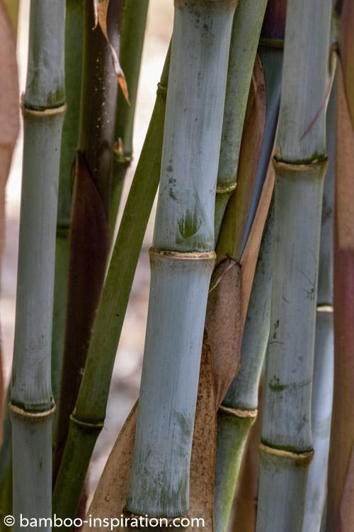 Borinda-Papyrifera CS1046 Blue Bamboo Plants Canes