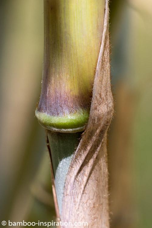 Borinda papyrifera - New Blue Bamboo Culm, Node, and Sheath