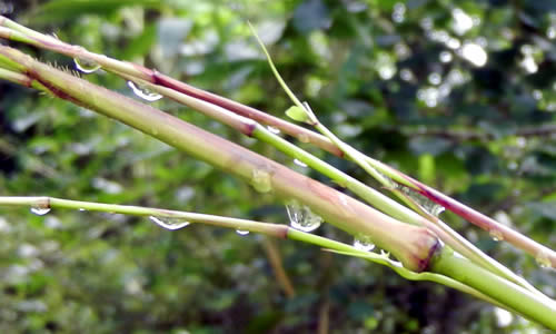 Chimonobambusa Tumidissinoda - New Culm, Sheath, and Emerging Branches in the Rain