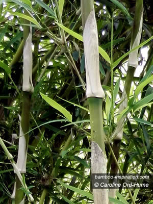 Gigantea is a Giant Bamboo with big culms