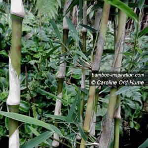 Chusquea gigantea big bamboo, green vertical culms, persistent sheaths