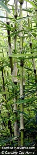 Chusquea gigantea - Chusquea breviglumis - Big Bamboo