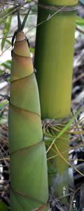 Bamboo Shoot Dendrocalamus Latiflorus