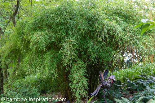 Fargesia murielae Umbrella Bamboo arched growth clumping bamboo