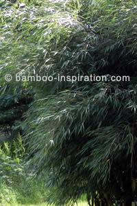 Fargesia murielae umbrella bamboo