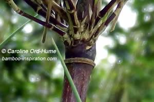 Branches emerging from a node on Jiuzhaigou bamboo