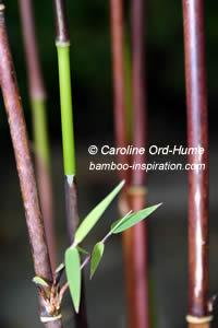 Fargesia nitida Jiuzhaigou 1 new green culm against older red brown canes