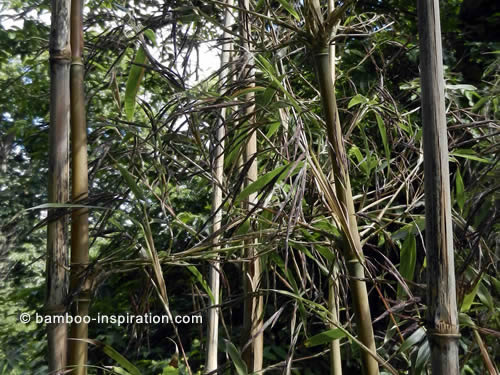 Picture of Bamboo Dying After Producing Flowers. Flowering Bamboo with Live, Dead, and Dying Culms