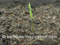 Bamboo Seedling in a Seed Tray