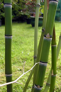 Culms of Golden Bamboo - Fishpole Bamboo - Phyllostachys aurea