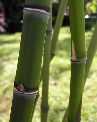 Culms of Golden Bamboo - Phyllostachys aurea