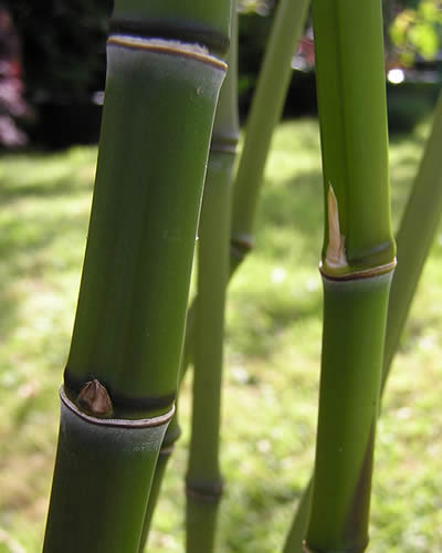 Culms of Golden Bamboo - Phyllostachys aurea