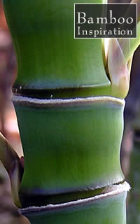 Golden Bamboo Plants - Phyllostachys aurea