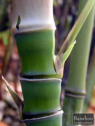 Golden Bamboo - Fishpole Bamboo, Nodes, New Branch Buds, and Sheath - Phyllostachys aurea