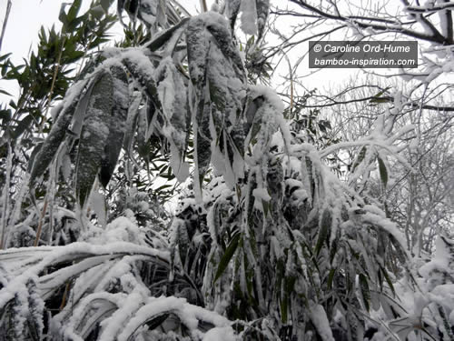 A Hardy Bamboo Hedge Bending Under the Weight of Winter Snow