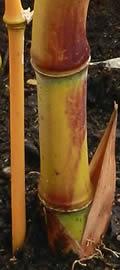 Phyllostachys aureosulcata aureocaulis new Yellow Grove bamboo shoot