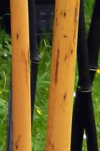 Phyllostachys aureosulcata Aureocaulis - Yellow Groove Bamboo