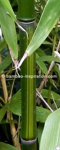 Phyllostachys Bamboo Green with Yellow Stripes