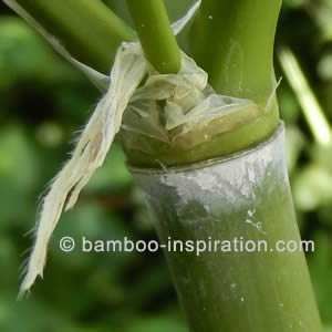 Cold Hardy Phyllostachys Bamboo