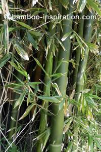 Phuyllostachys edulis bamboo grove
