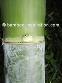 Phyllostachys edulis - Moso bamboo pole